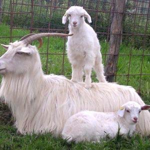 cashmere goat family