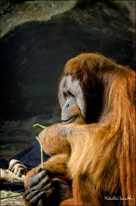 ape tying a knot